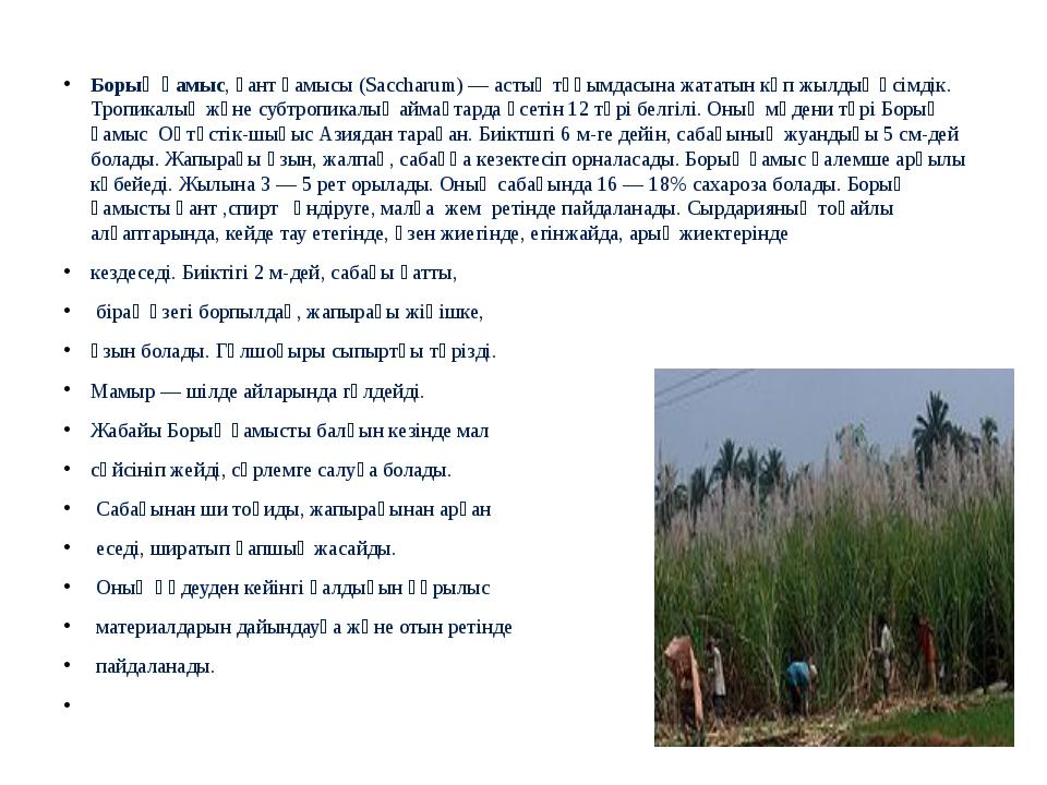Борық қамыс, қант қамысы (Saccharum) —астық тұқымдасынажататын көп жылдық...