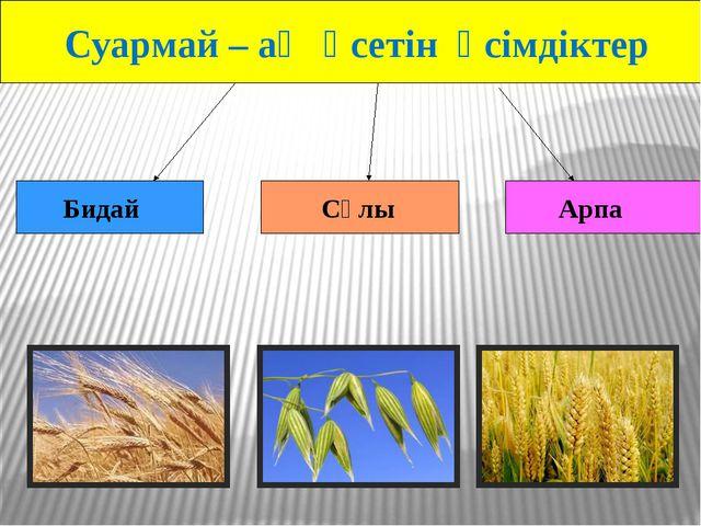Суармай – ақ өсетін өсімдіктер Сұлы Арпа Бидай