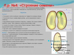 Л.р. №4: «Строение семени»  Цель: изучить внешнее и внутреннее строение семе