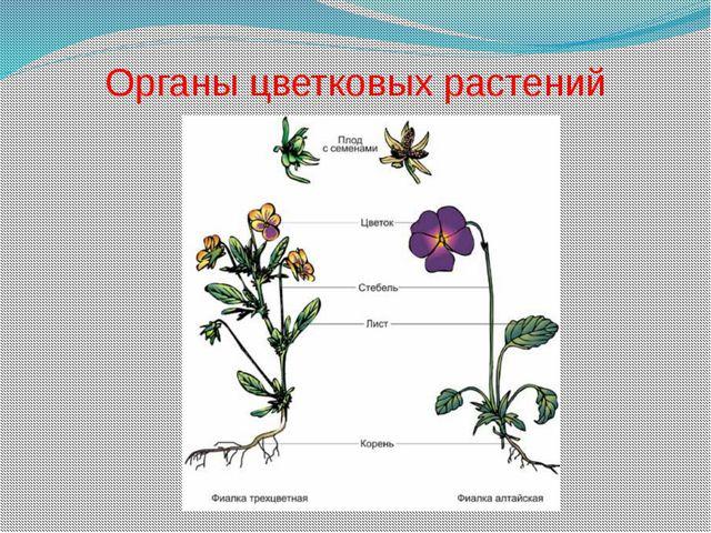 Органы цветковых растений