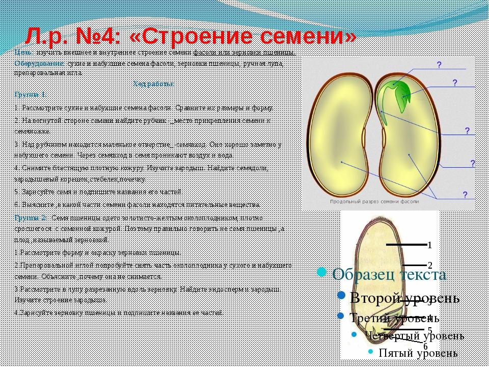 Л.р. №4: «Строение семени»  Цель: изучить внешнее и внутреннее строение семе...