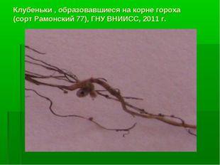 Клубеньки , образовавшиеся на корне гороха (сорт Рамонский 77), ГНУ ВНИИСС, 2