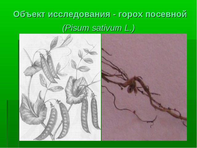 Объект исследования - горох посевной (Pisum sativum L.)