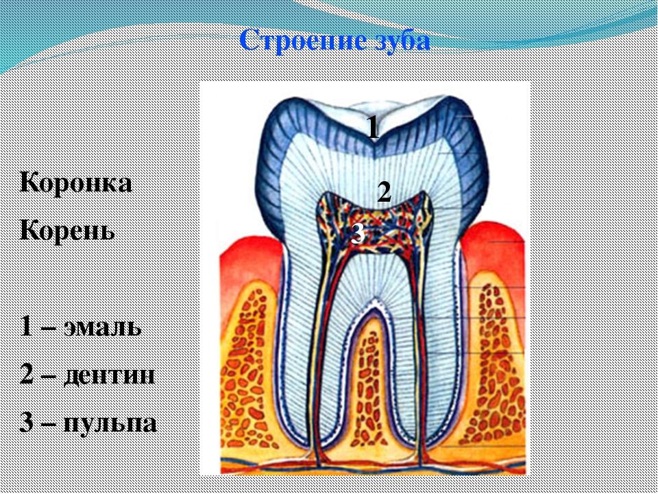 Строение зуба Коронка Корень 1 – эмаль 2 – дентин 3 – пульпа 1 2 3