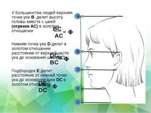 У большинства людей верхняя точка уха B делит высоту головы вместе с шеей (от