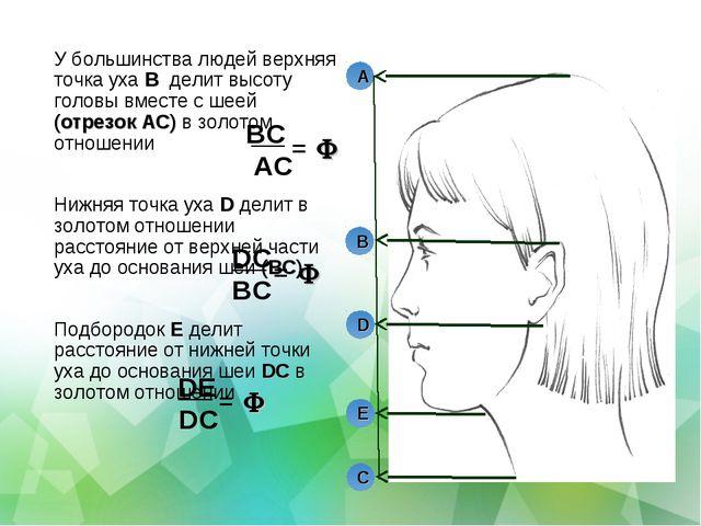 У большинства людей верхняя точка уха B делит высоту головы вместе с шеей (от...