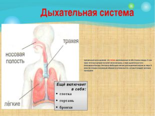 Центральный орган дыхания - это легкие, расположенные по обе стороны сердца.