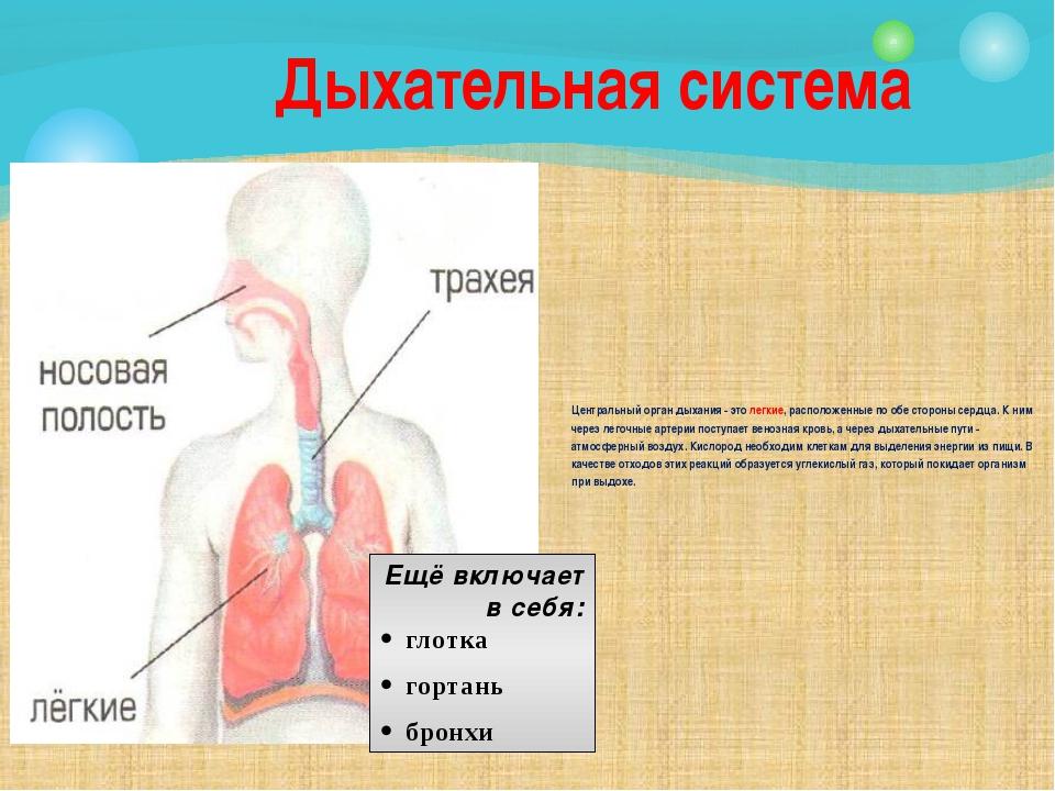 Центральный орган дыхания - это легкие, расположенные по обе стороны сердца....