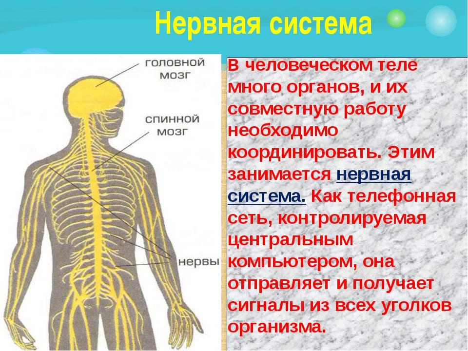 Нервная система В человеческом теле много органов, и их совместную работу не...