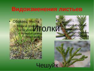 Видоизменения листьев Иголки Чешуйки