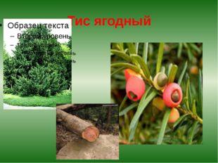 Тис ягодный