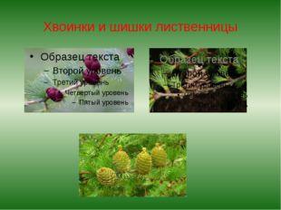 Хвоинки и шишки лиственницы