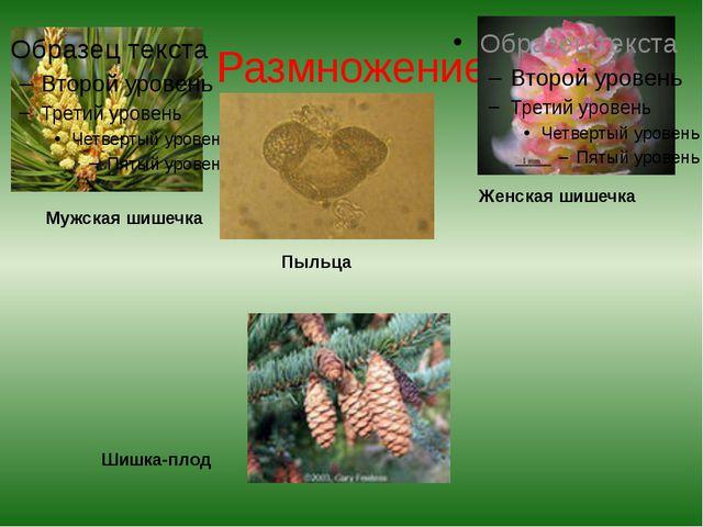 Размножение Мужская шишечка Пыльца Женская шишечка Шишка-плод