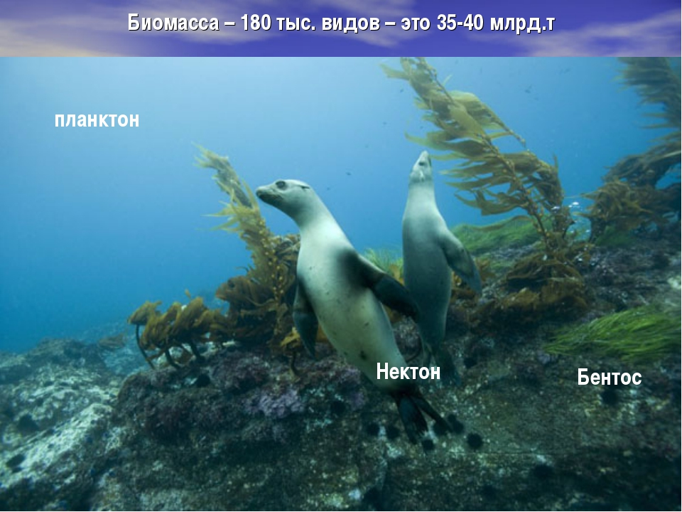 Биомасса – 180 тыс. видов – это 35-40 млрд.т Нектон планктон Бентос