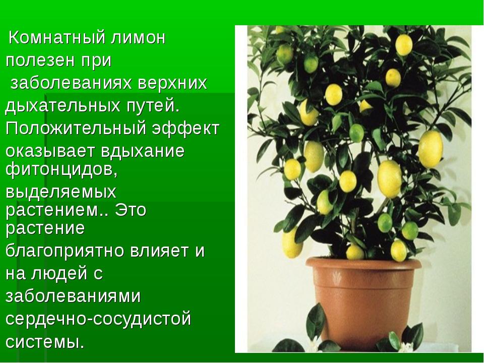 Комнатный лимон полезен при заболеваниях верхних дыхательных путей. Положите...