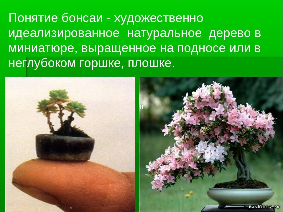 Понятие бонсаи - художественно идеализированное натуральное дерево в миниатюр...