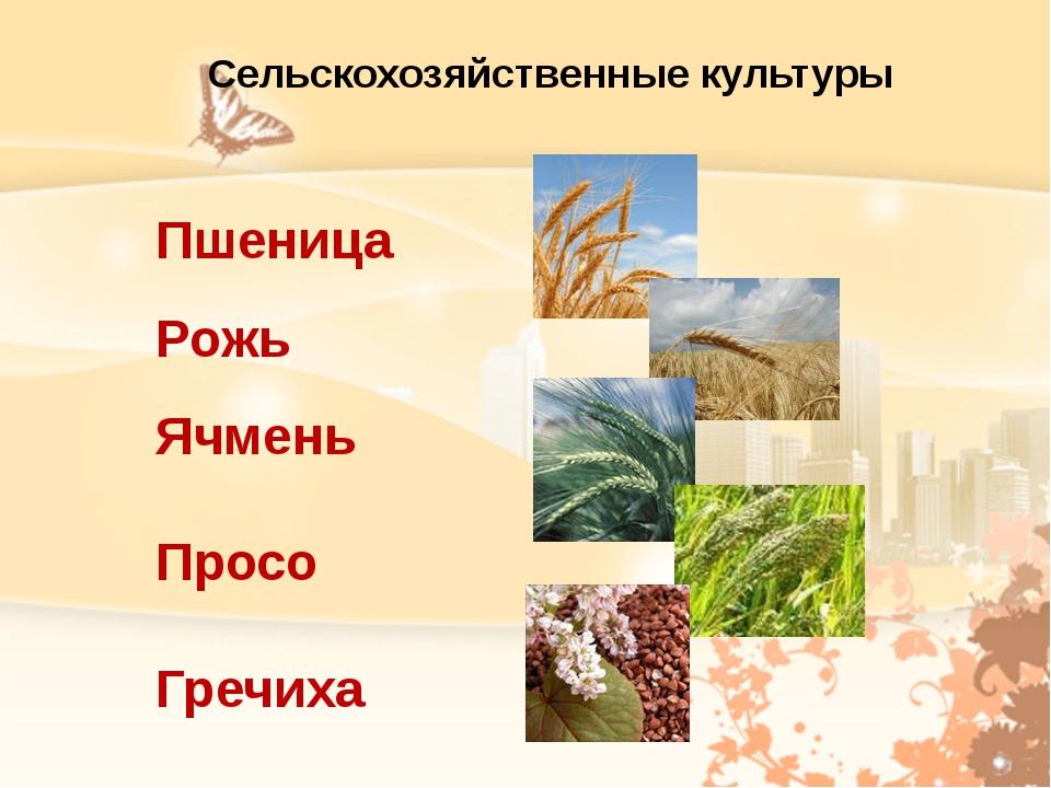 Пшеница Рожь Ячмень Просо Гречиха Сельскохозяйственные культуры