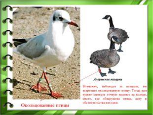 Окольцованные птицы Возможно, наблюдая за птицами, вы встретите окольцованную