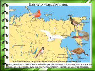 Для чего кольцуют птиц? Кольцевание используется для изучения миграций и биол