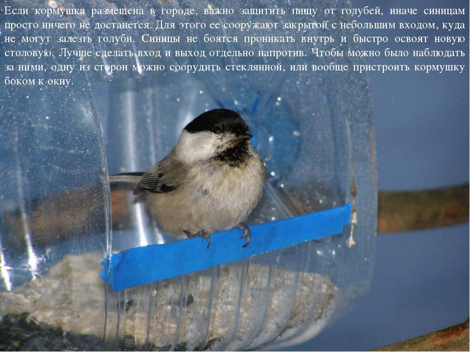 Если кормушка размещена в городе, важно защитить пищу от голубей, иначе синиц...