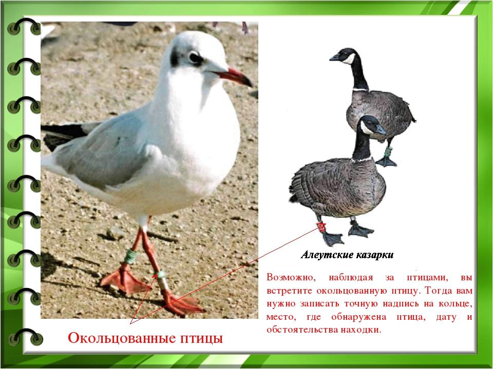 Окольцованные птицы Возможно, наблюдая за птицами, вы встретите окольцованную...
