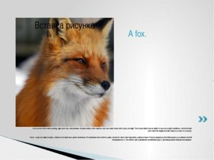 A fox is one of the most cunning, agile and wary wild animals. It hunts mainl