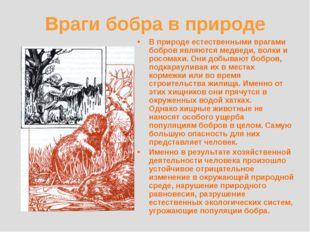 Враги бобра в природе В природе естественными врагами бобров являются медведи