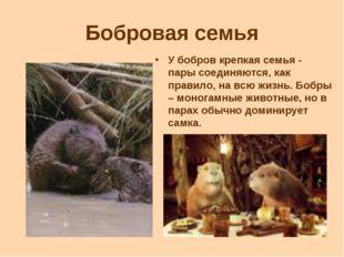 Бобровая семья У бобров крепкая семья - пары соединяются, как правило, на всю