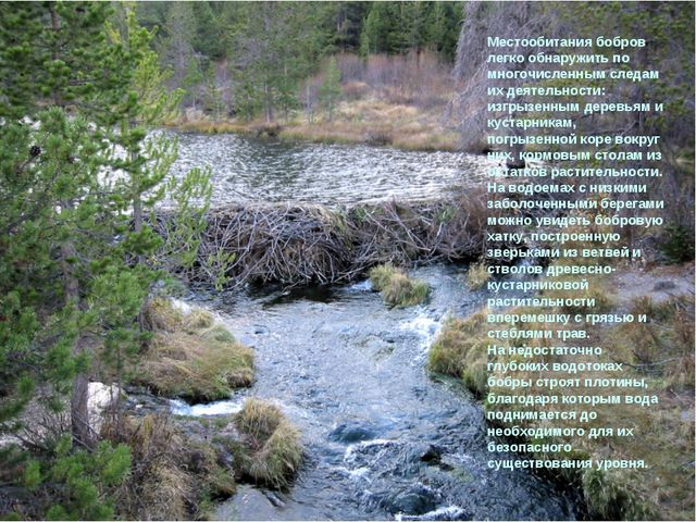 Местообитания бобров легко обнаружить по многочисленным следам их деятельност...