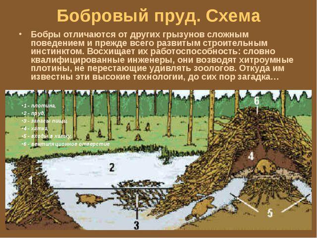 Бобровый пруд. Схема Бобры отличаются от других грызунов сложным поведением и...