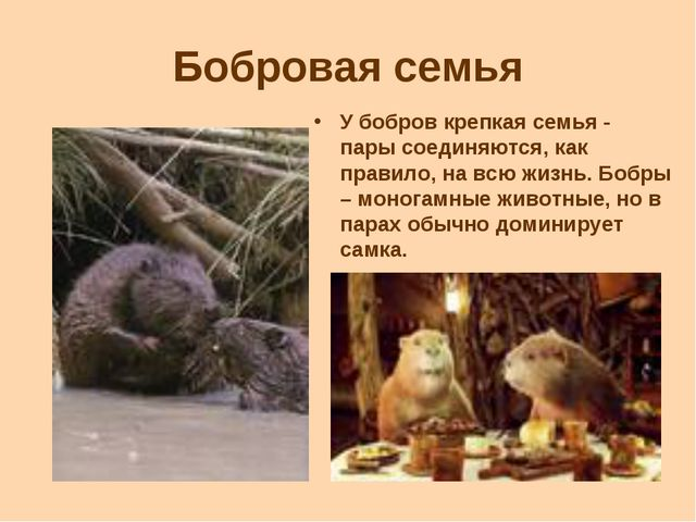 Бобровая семья У бобров крепкая семья - пары соединяются, как правило, на всю...