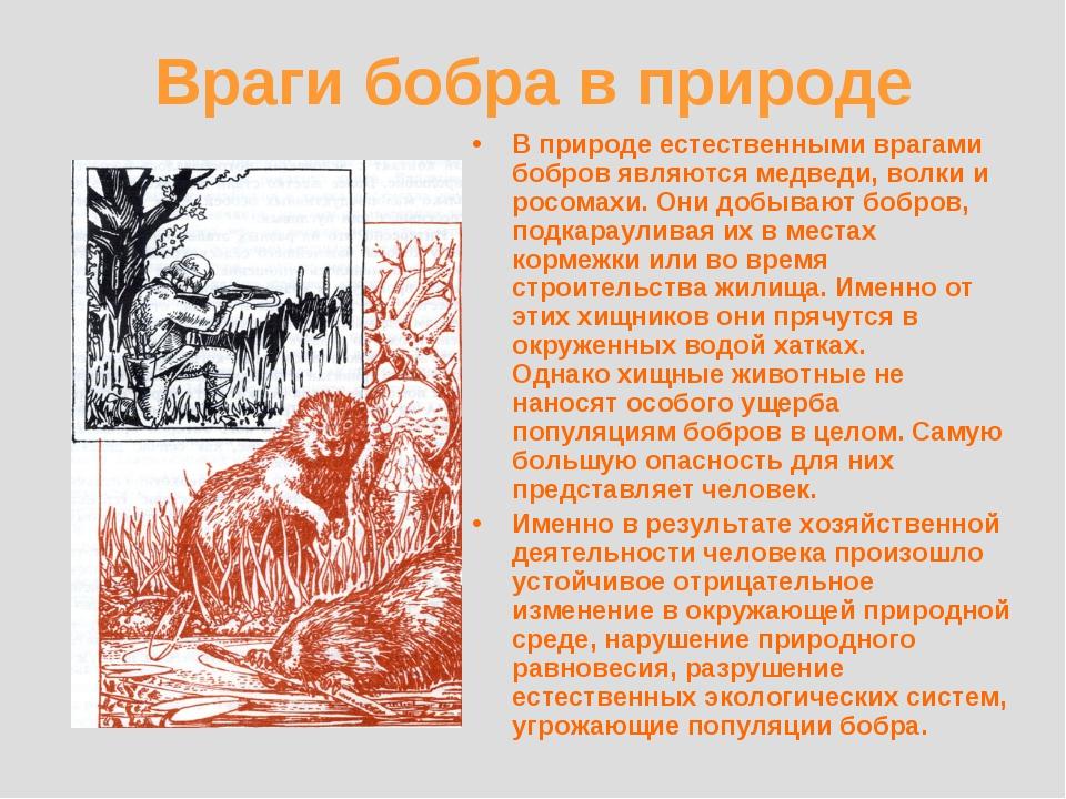 Враги бобра в природе В природе естественными врагами бобров являются медведи...