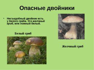 Опасные двойники Несъедобный двойник есть у белого гриба. Это желчный гриб, и