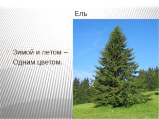 Ель Зимой и летом – Одним цветом.