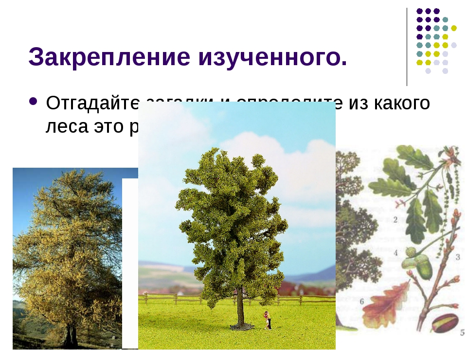 Закрепление изученного. Отгадайте загадки и определите из какого леса это рас...