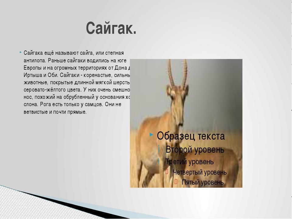 Сайгака ещё называют сайга, или степная антилопа. Раньше сайгаки водились на...