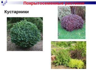Кустарники Покрытосеменные растения