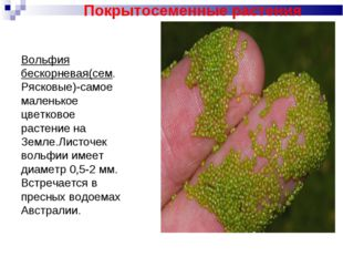 Вольфия бескорневая(сем. Рясковые)-самое маленькое цветковое растение на Земл