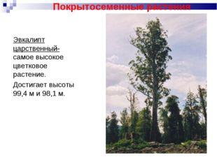 Эвкалипт царственный- самое высокое цветковое растение. Достигает высоты 99,4
