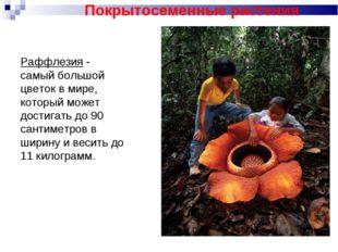 Раффлезия - самый большой цветок в мире, который может достигать до 90 сантим