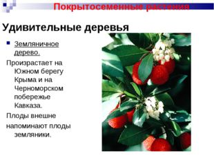 Удивительные деревья Земляничное дерево. Произрастает на Южном берегу Крыма и