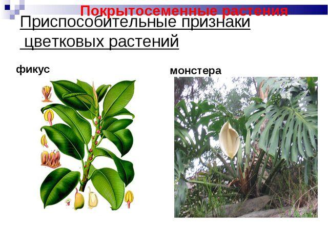 Приспособительные признаки цветковых растений фикус монстера Покрытосеменные...