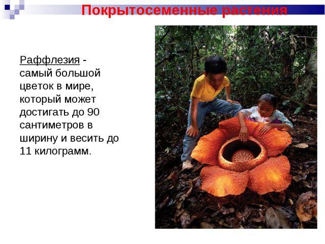 Раффлезия - самый большой цветок в мире, который может достигать до 90 сантим...