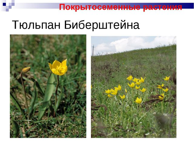 Тюльпан Биберштейна Покрытосеменные растения