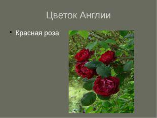 Цветок Англии Красная роза