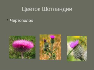 Цветок Шотландии Чертополох