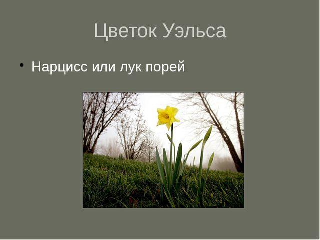 Цветок Уэльса Нарцисс или лук порей
