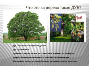 Что это за дерево такое ДУБ? Дуб – это могучее лиственное дерево. Дуб – долго