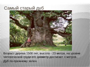Самый старый дуб Возраст дерева 1500 лет, высота - 23 метра, на уровне челове