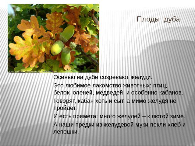 Плоды дуба Осенью на дубе созревают желуди. Это любимое лакомство животных: п...